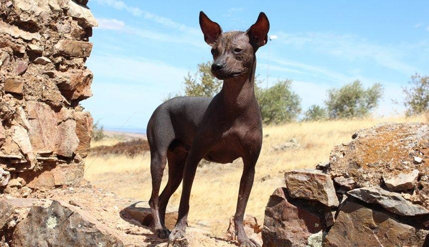 The Unusual Peruvian Hairless Dog