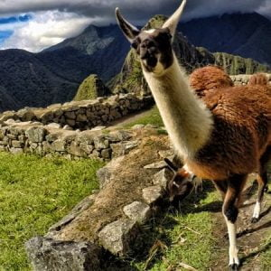Finding Alpacas and Llamas in Peru