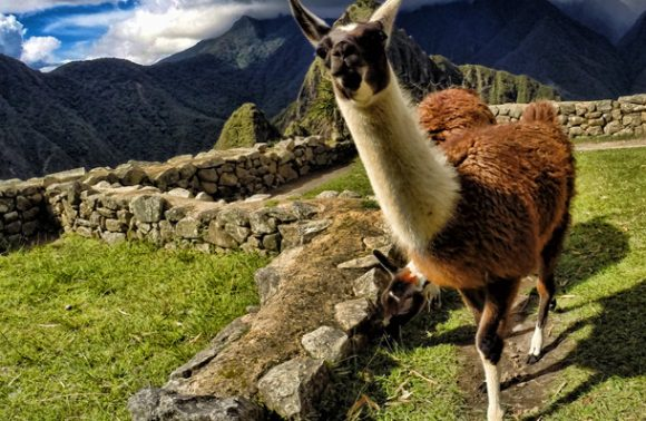 Finding Alpacas and Llamas in Peru