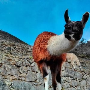 Llamas, Alpacas, Vicunas: What's the Difference?