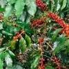 Uchunari Kaffee – peruanischer Kot-Kaffee