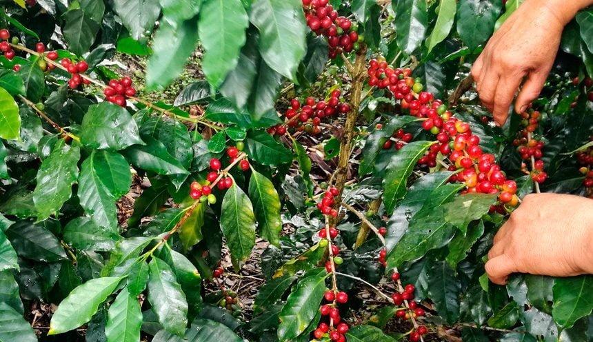 秘鲁冷知识:南美浣熊的便便做咖啡?