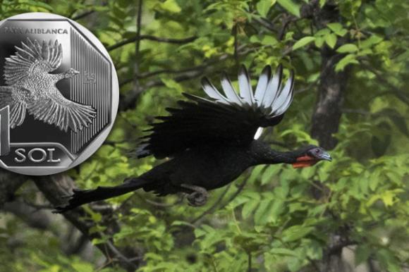 pava aliblanca, white winged guan, turkey, peru, peruvian sol, nuevo sol, critically endangered, near extinct